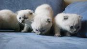 Продам котят Шотландских вислоухих с документами