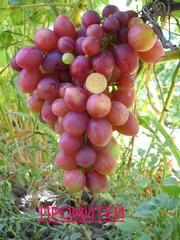 саженцы винограда большой выбор низкие цены.