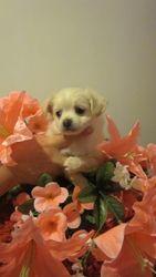 Предлагаются к продаже замечательные щенки чихуахуа