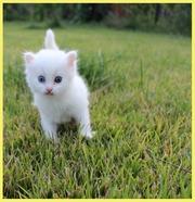 Отдадим белого пушистого котёнка в хорошие руки!