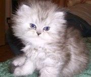 Перс-шиншиловые котята 1, 5 мес