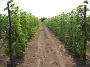 саженцы винограда от производителя,  пересылка почтой