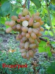 саженцы столовых сортов винограда