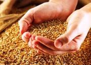 куплю зерно-пшеницу