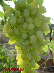 Саженцы и черенки новых крупноплодных сортов винограда.