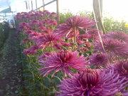 Продам черенок крупноцветковой хризантемы
