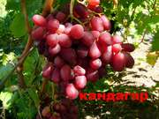 Саженцы и черенки винограда