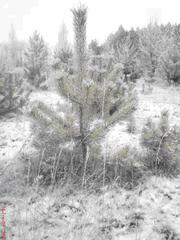 Оптом живые новогодние елки
