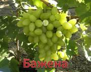 сеженцы    винограда