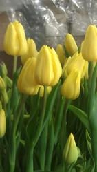 Срез тюльпана к 8 марта,  крокус и гиацинт