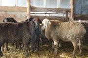 Продам чистокровных курдючных баранов , гиссарской,  эдильбаевской,  калмыцкой породы