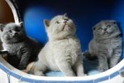 Шотландские плюшевые котята! Летние цены! Доставка.