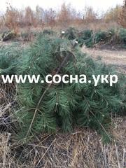 Продам ветки сосны крымка оптом по 5 грн