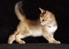 продам котенка чаузи без родословной