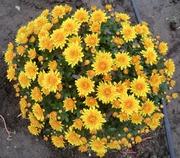 цветущие растения Хризантема Мультифлора