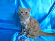 Шикарные котята экзотов на любой вкус