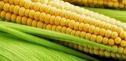 Куплю кукурузу много дорого