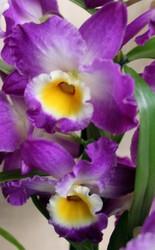 Комплект 6 саженцев орхидей в контейнере - 250 грн. Акция!