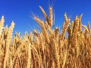 Куплю ячмень,  рапс,  горох,  пшеница с места